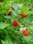 salmonberries-on-plant