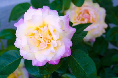 1280-89507969-roses